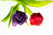 Tulip Tabletop 3