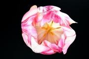 Tulip 1 (Method A)