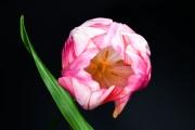 Tulip 2 (Method A)