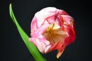Tulip 3 (Method A)
