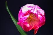 Tulip 4 (Method A)
