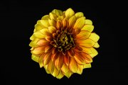 Dahlia Flower 2 (Method A, Radius 8, Smoothing 4)