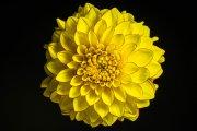 Dahlia Flower 1