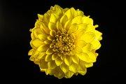 Dahlia Flower 3
