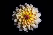 Dahlia Flower 5