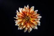 Dahlia Flower 6
