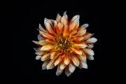 Dahlia Flower 7