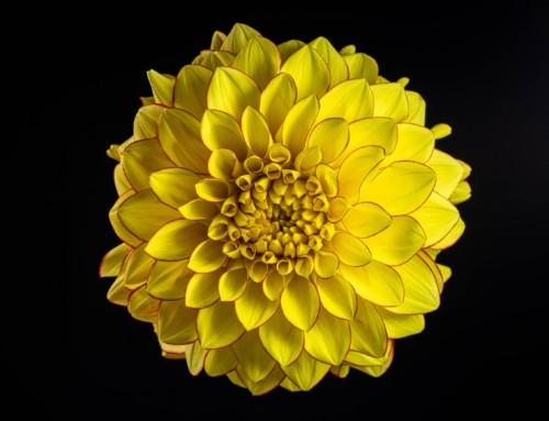 Project 255: Dahlia Flowers