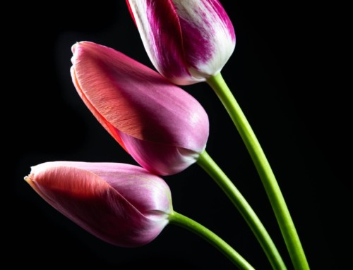 Project 282: Three Tulips